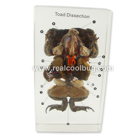 T604<br />Toad Dissection<br />