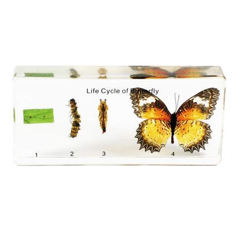 TL12<br/>Butterfly Life Cycle<br/>