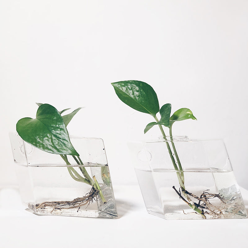 Genetically Modified Houseplants that Clean the Air