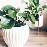 How to Take Care of a Chinese Money Plant