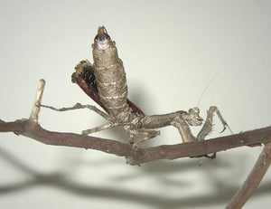 Mantis- Popa spurca