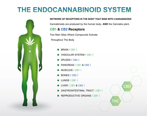 The endocannabinoid system is comprised of three basic parts: cannabinoid receptors, endocannabinoid molecules, and enzymes that help break down cannabinoid molecules.