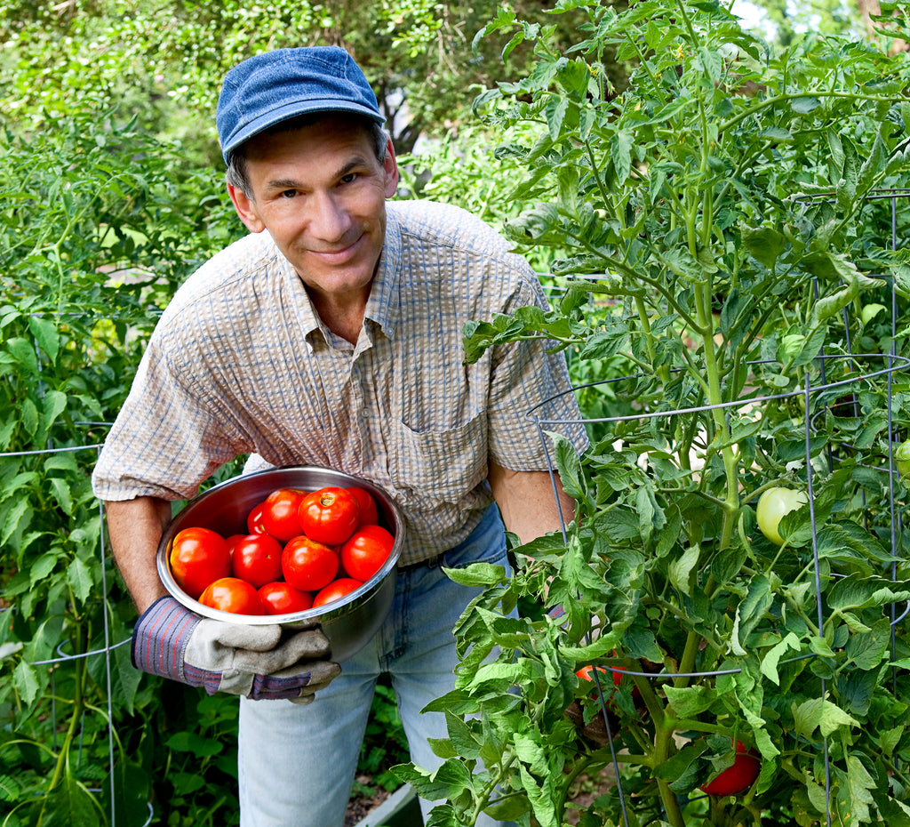 older man picking tomatoes