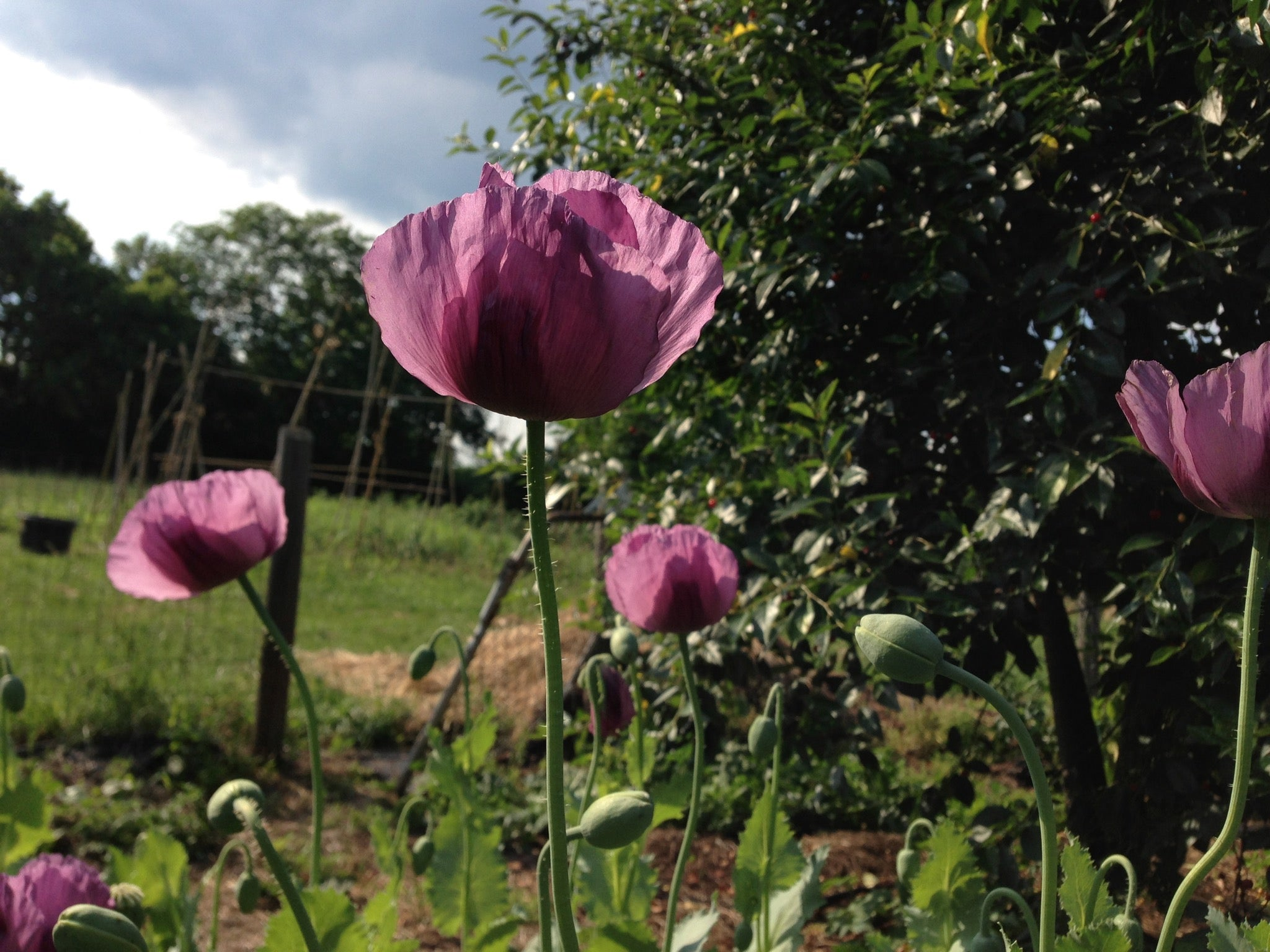 Time To Sow Poppy Seeds Flower Seeds In Lexington Ky Michler S