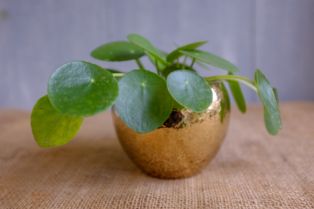 Chinese Money Plant (Pilea peperomiodes)