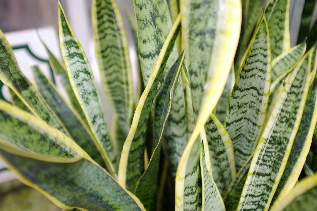 Snake plant (sansevieria) at Michler's in Lexington KY