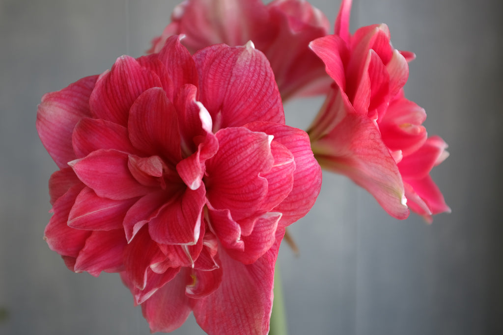 Amaryllis at Michler's in Lexington