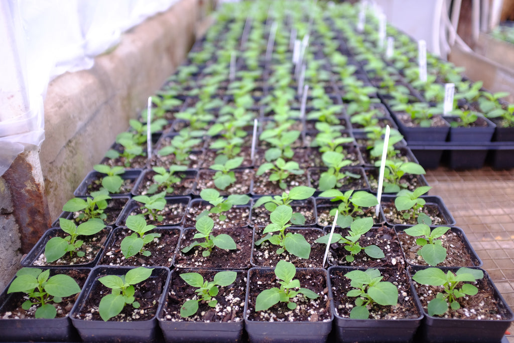 Spring seedlings at Michler's in Lexington KY