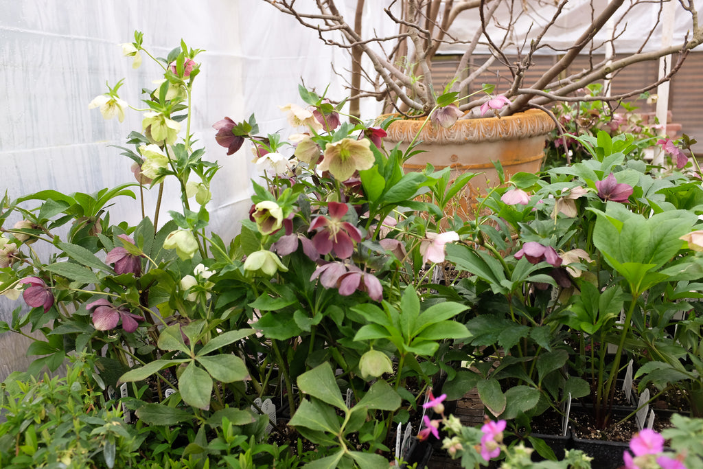 Hellebores at Michler's in Lexington, KY