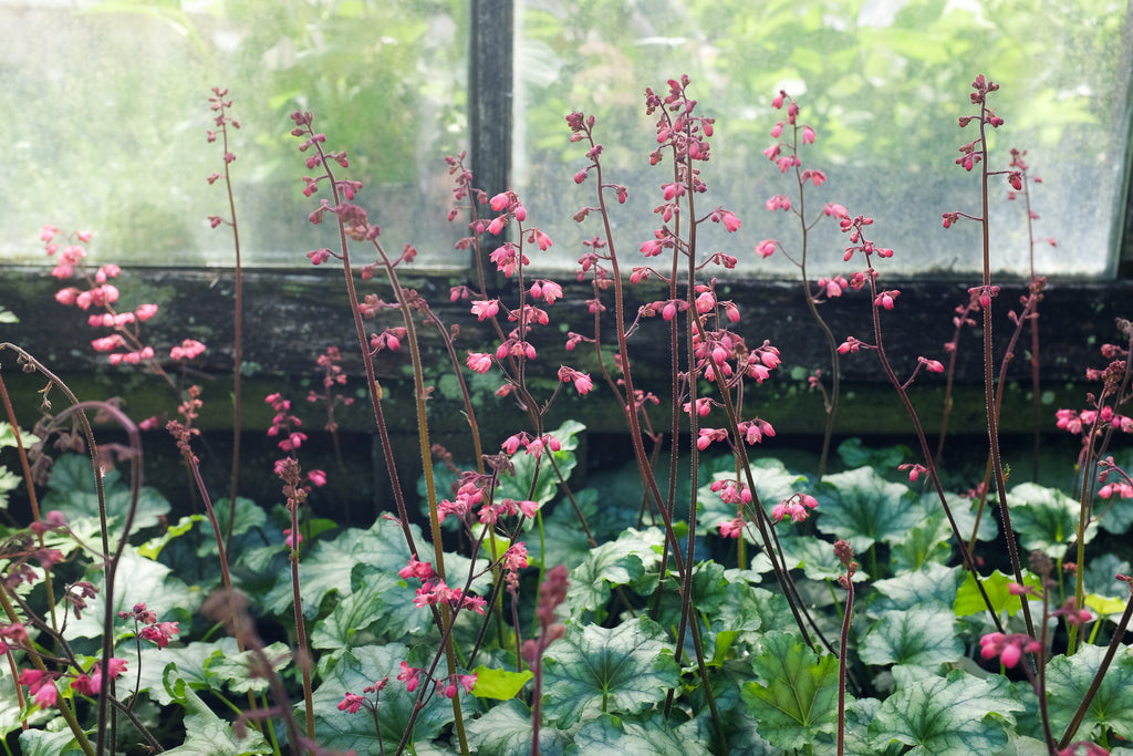Blooming coral bells at Michler's in Lexington KY