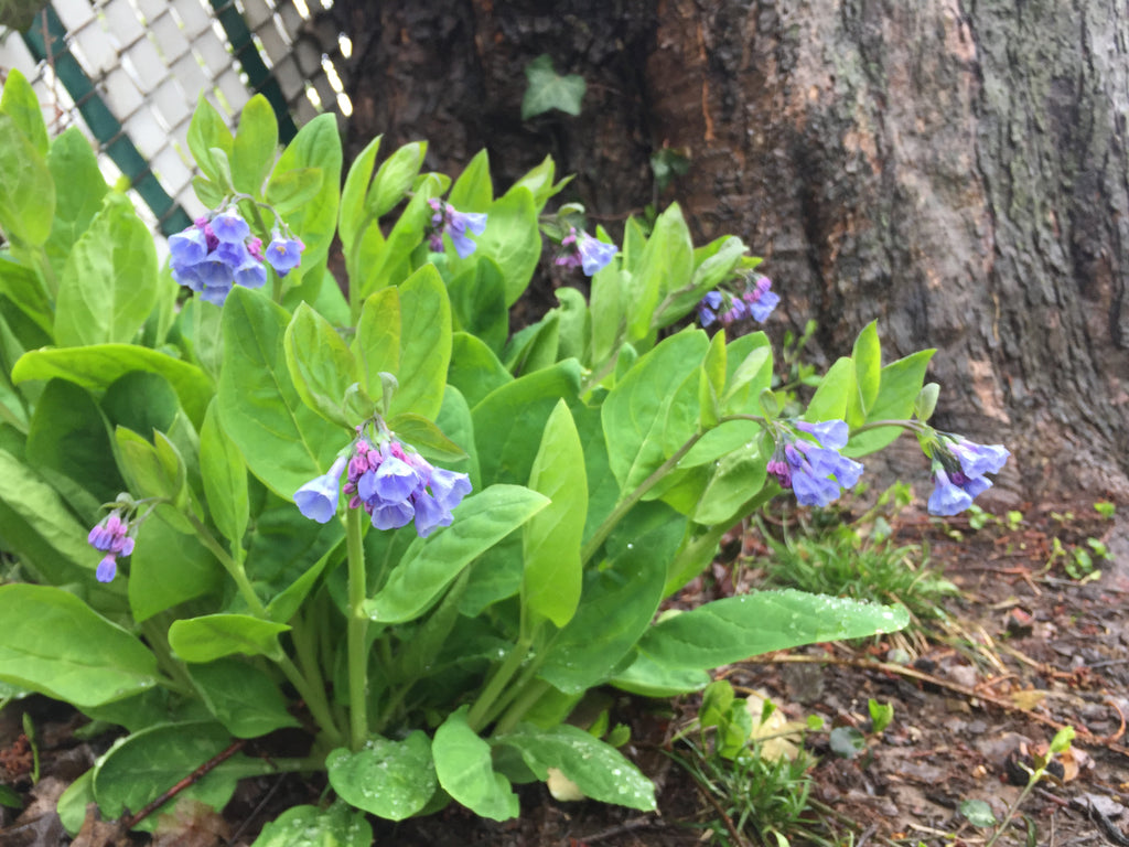 Virginia Bluebells in Bloom at Michler's, Lexington, KY