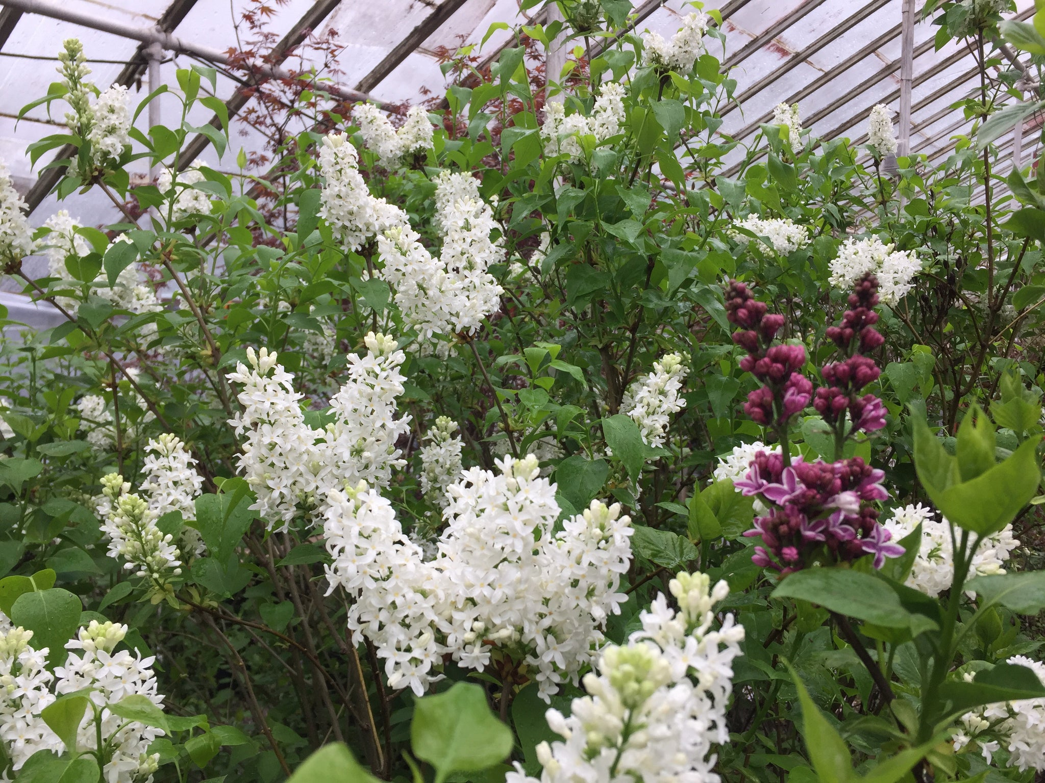 Lilac bush at Michler's Florist and Greenhouse