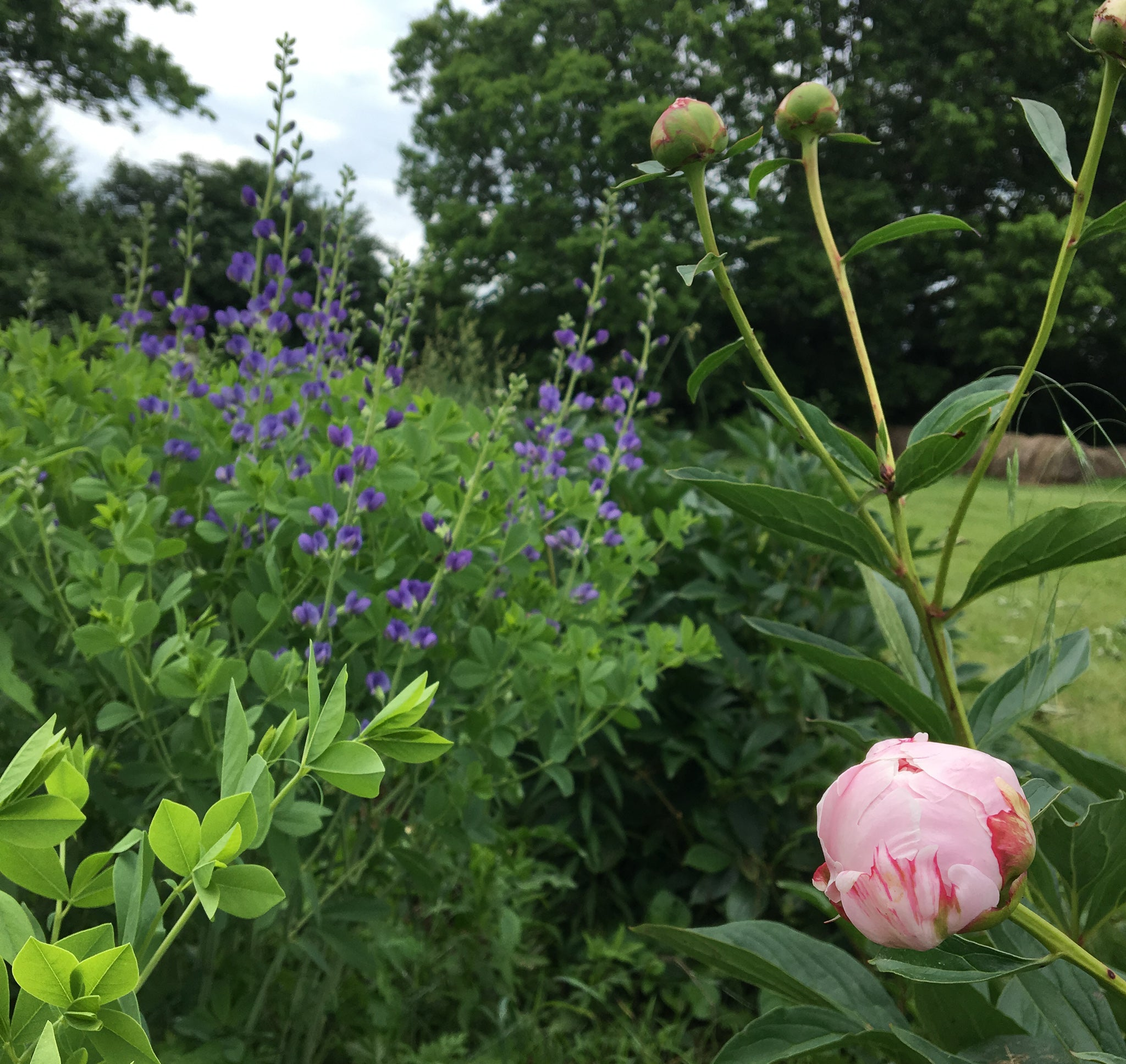 Peonies and Baptisia - Local Field Fresh Flowers