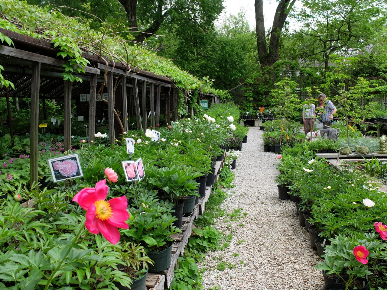 Peony Plants at Michler's Florist, Greenhouses & Garden Design