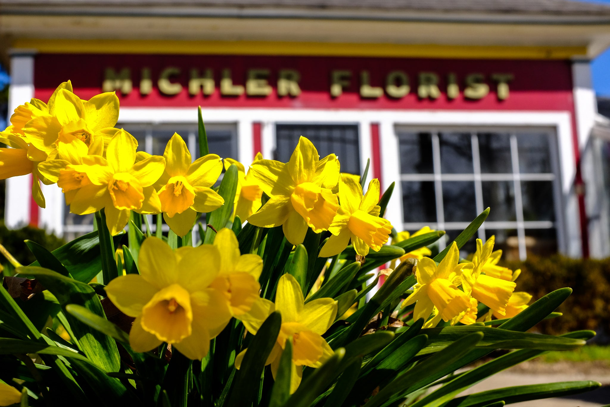 Tete-a-Tete Daffodils in Bloom at Michler's Florist