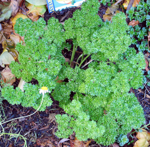 Petroselinum crispum (curly leaf parsley)