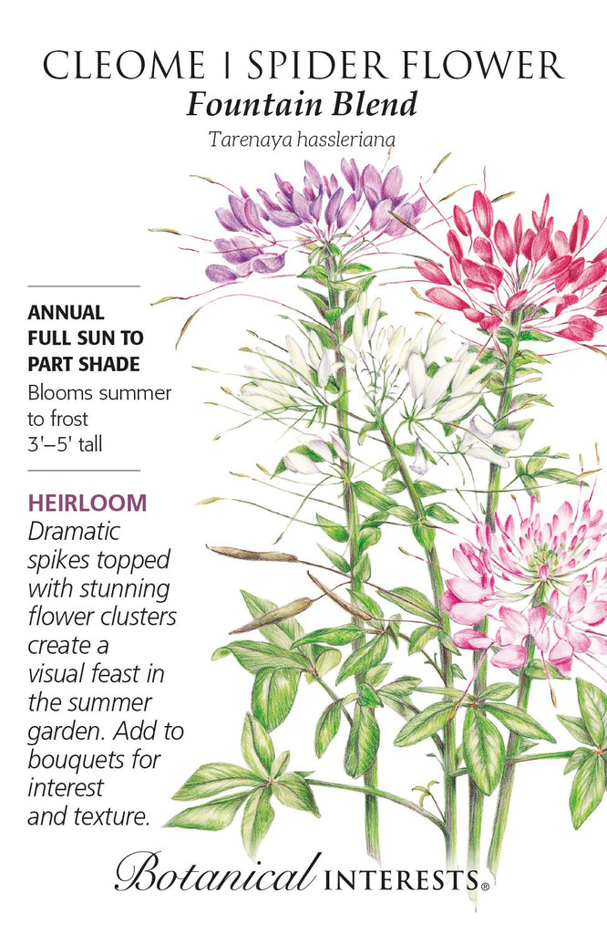 Cleome Fountain Blend