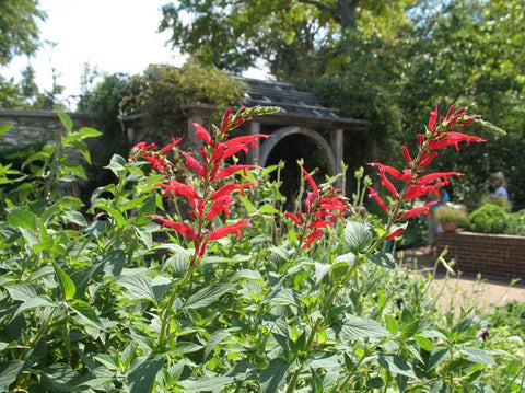 Salvia elegans (pineapple sage)