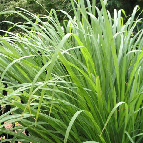 Cymbopogon citratus (lemon grass)