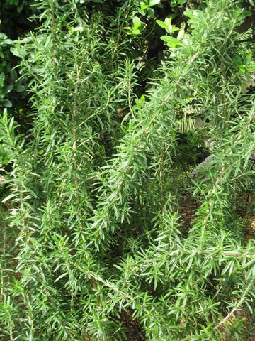 Rosmarinus officinalis 'Spice Islands' (Spice Islands rosemary)