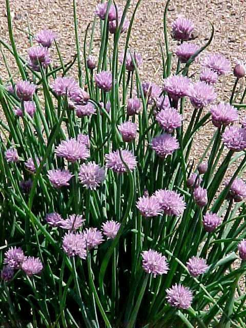 Allium schoenoprasum (chives, onion chives)