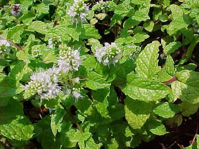 Mentha spicata 'Kentucky Colonel' (Kentucky colonel spearmint)