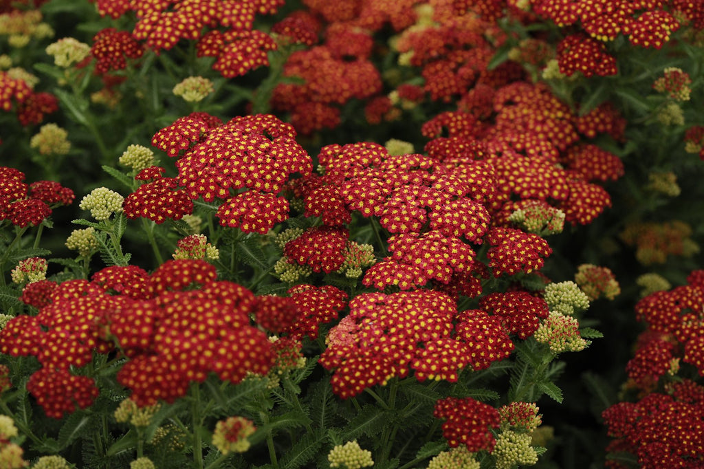 Achillea millefolium 'Strawberry Seduction' (Yarrow)
