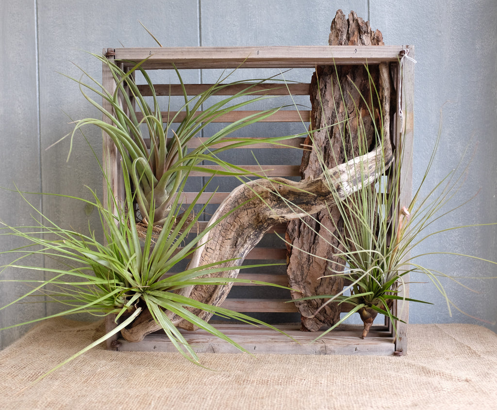 Air Plants and Driftwood Crate