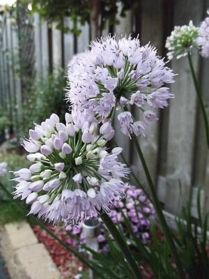 Allium 'Summer Beauty' (Ornamental Onion)