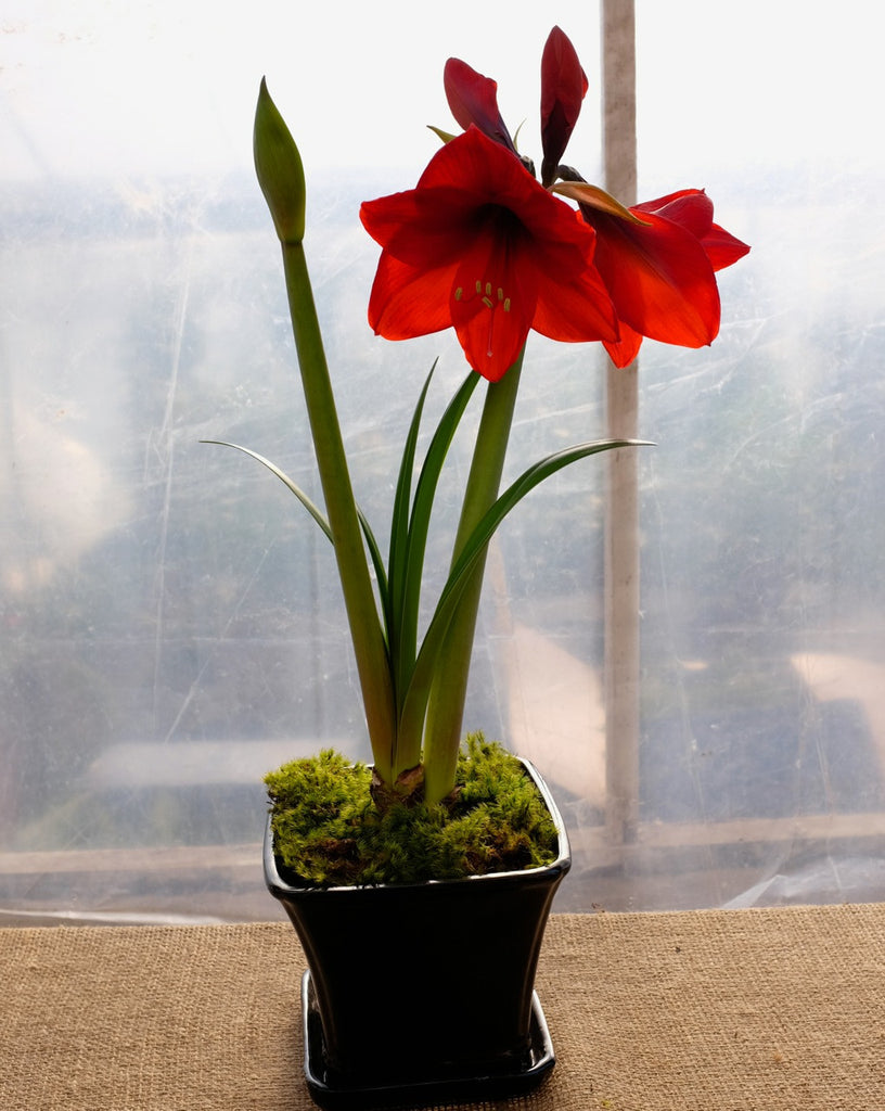 Blooming Red Amaryllis in a black glazed pot with fresh moss.  Grown by Michler's Florist in Lexington, KY