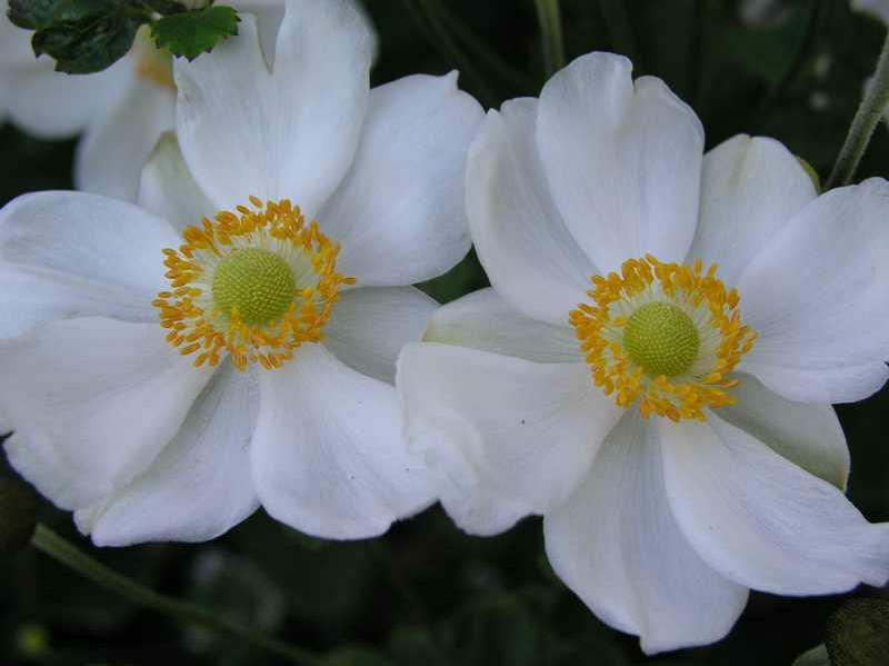 Anemone 'Honorine Jobert' (Windflower)