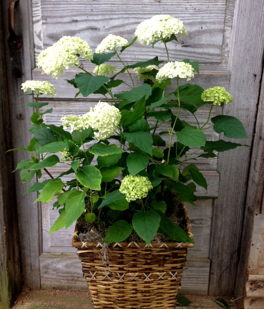 Blooming White Hydrangea Plant From Michler's, Florist, Greenhouses & Garden Design