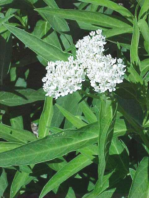 Asclepias incarnata 'Ice Ballet' (White Swamp Milkweed) - Biggest Plants!