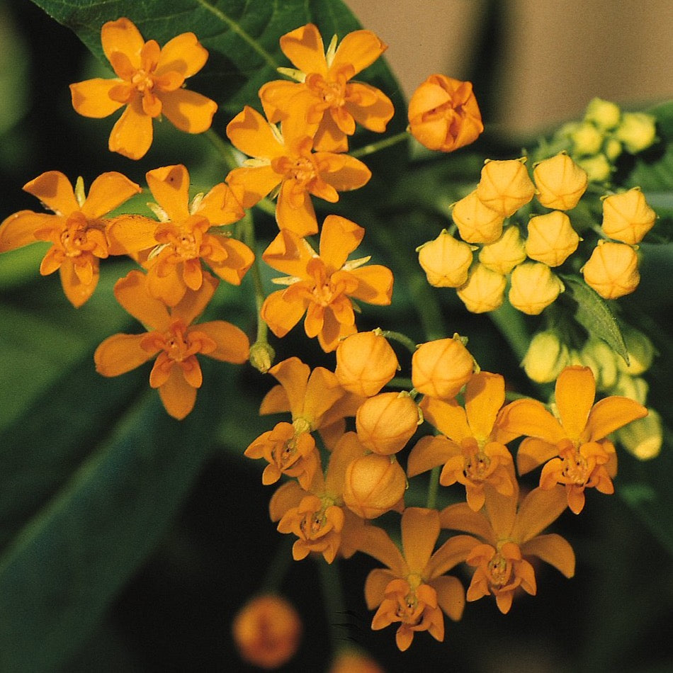 Asclepias curassavica 'Silky Gold' (Tropical Milkweed)