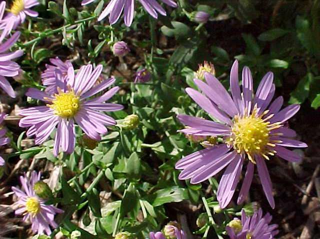Aster laevis 'Bluebird' (Smooth Blue Aster)