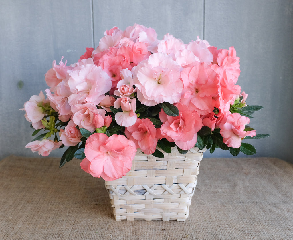 Blooming potted Azalea in a Basket