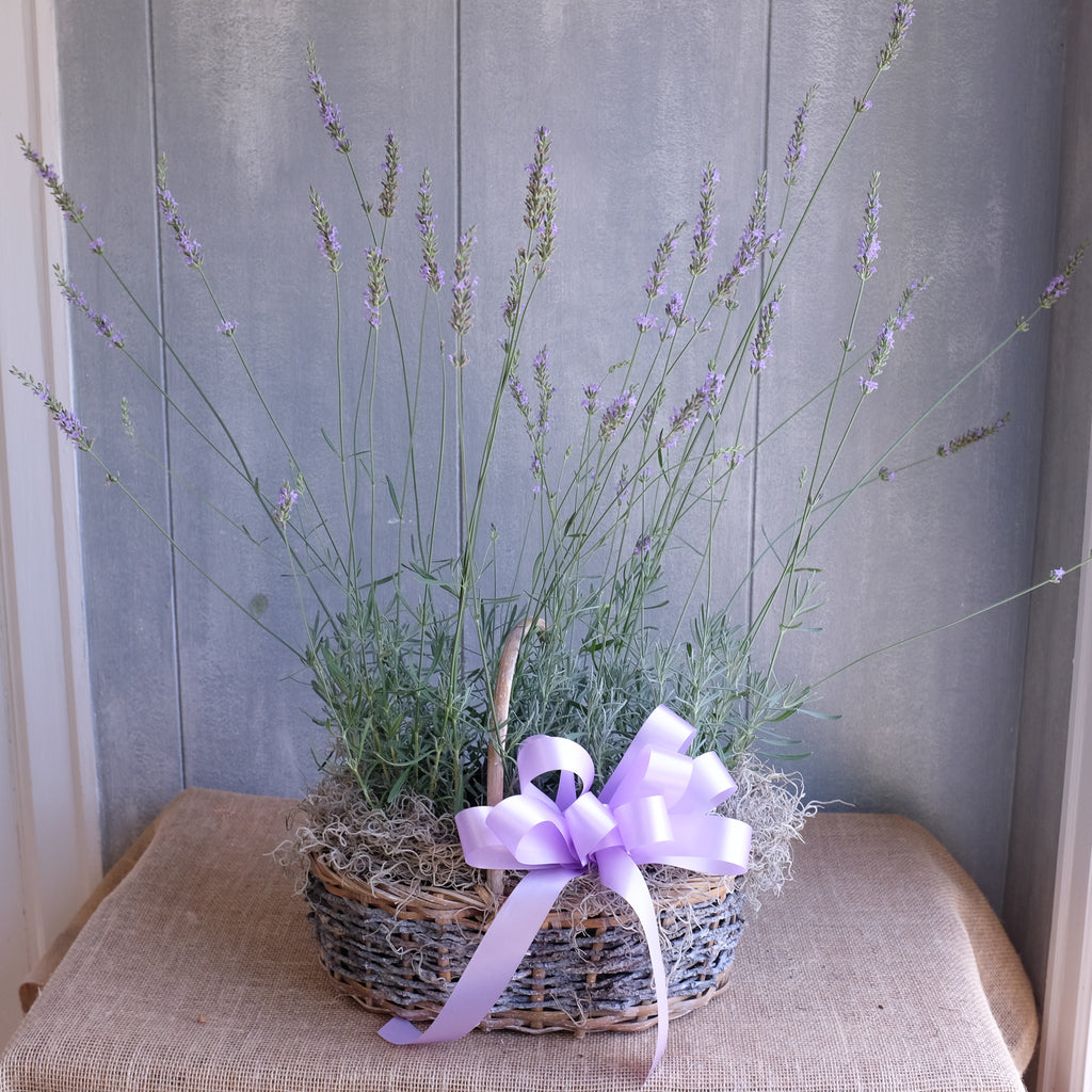 Basket of Lavender Plants.