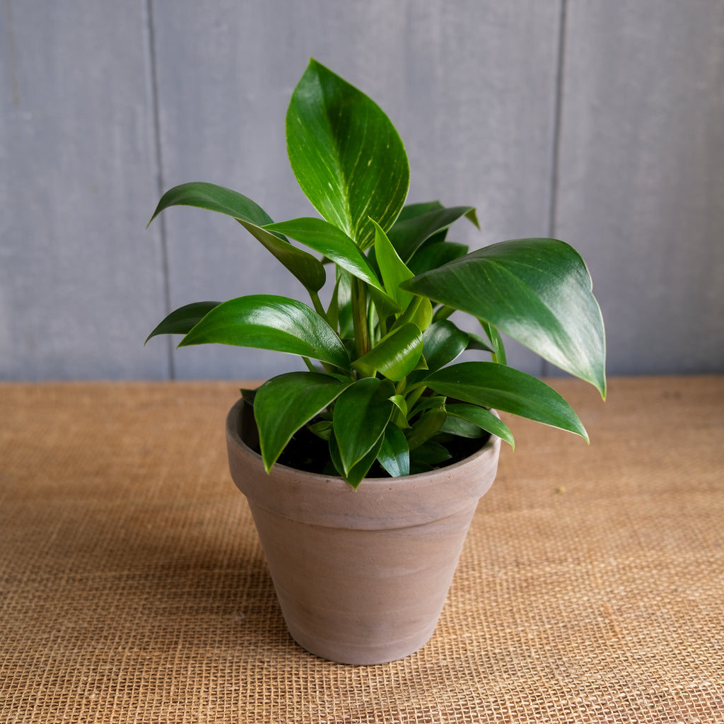 philodendron houseplant with glossy green leaves at Michler's