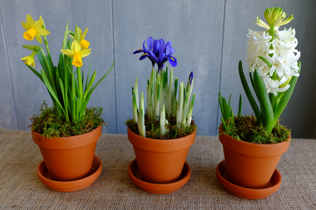 Blooming spring bulbs: Tete-a-Tete Daffodils, Miniature Iris, and Hyacinth | Michler's Florist