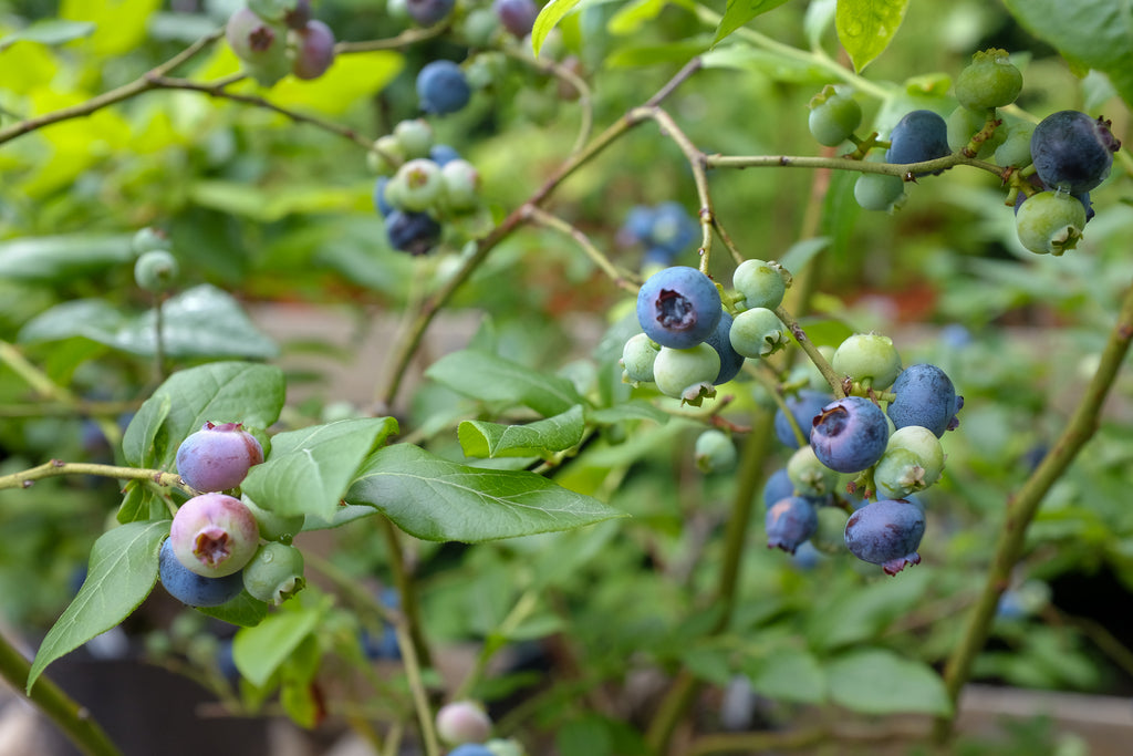 Blueberry Bushes