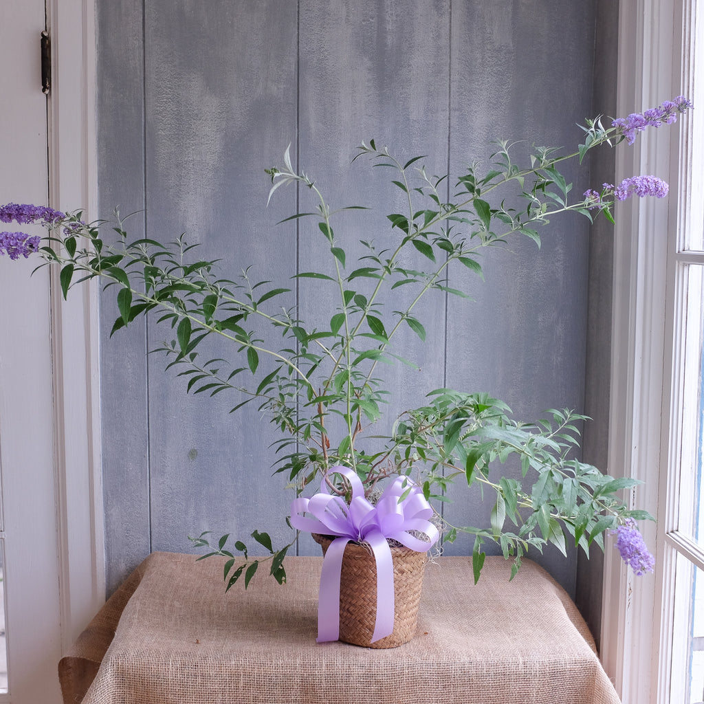 Butterfly bush plant in basket with bow.