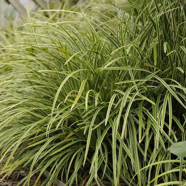Grass - Carex morrowii 'Ice Dance'  (Japanese Sedge)