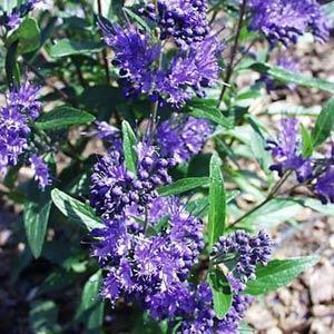 Caryopteris 'Dark Knight' (Bluebeard)