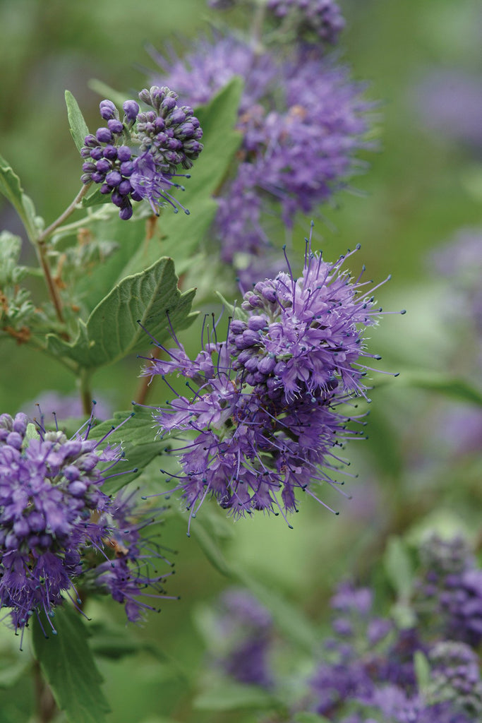 Caryopteris 'Longwood Blue' (Bluebeard)