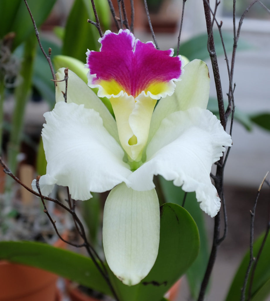 Cattleya Orchid at Michler's Florist, Greenhouses & Garden Design in Lexington, KY