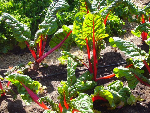 Beta vulgaris 'Bright Lights' (Swiss chard)