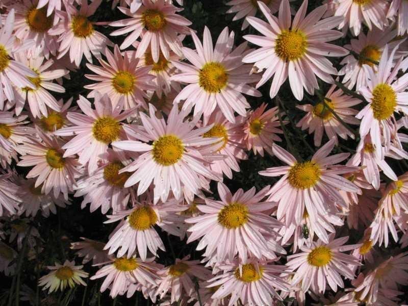 Chrysanthemum 'Hillside Pink Sheffield'