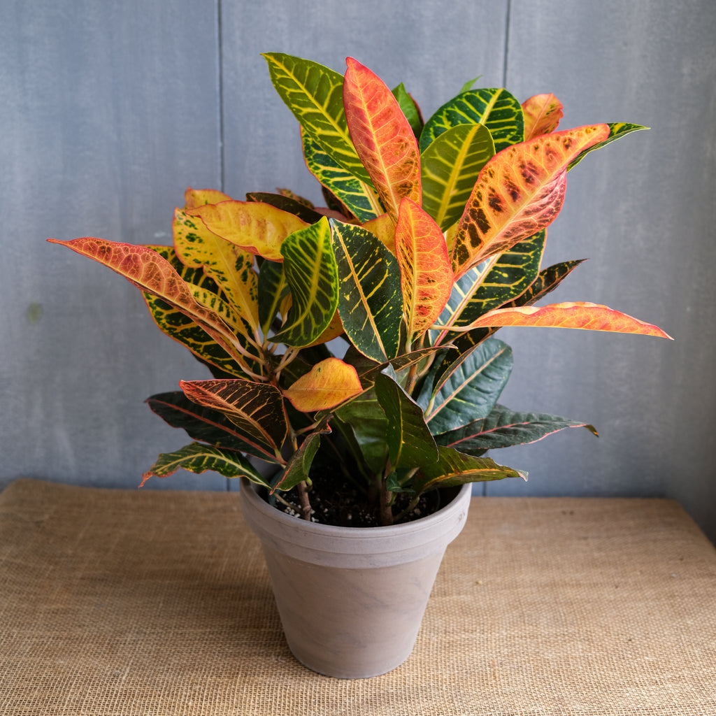 croton houseplant with large, vibrant leaves of orange, yellow, and green at Michler's