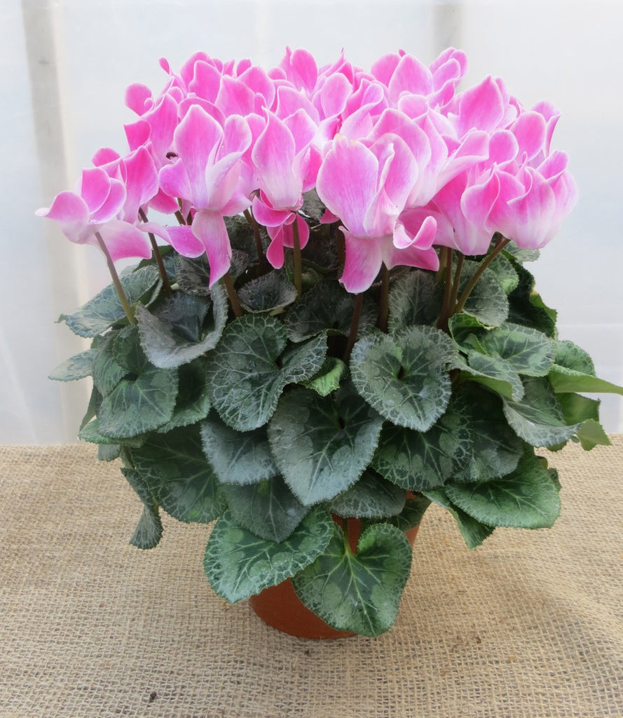 Pink Cyclamen in Bloom. Michler's Florist, Greenhouses & Garden Design