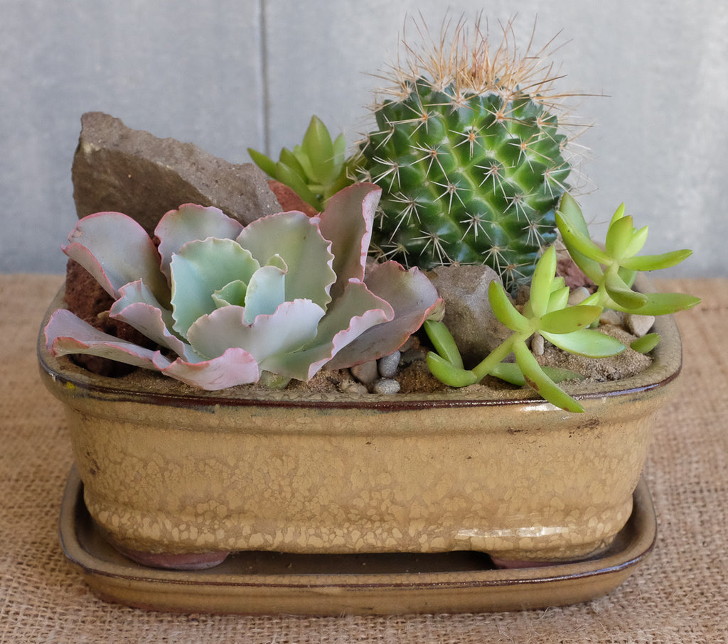 Cacti and succulents in a bonsai pot by Michler's florist